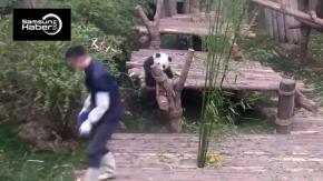 Bakıcısını rahat bırakmayan ponçik panda