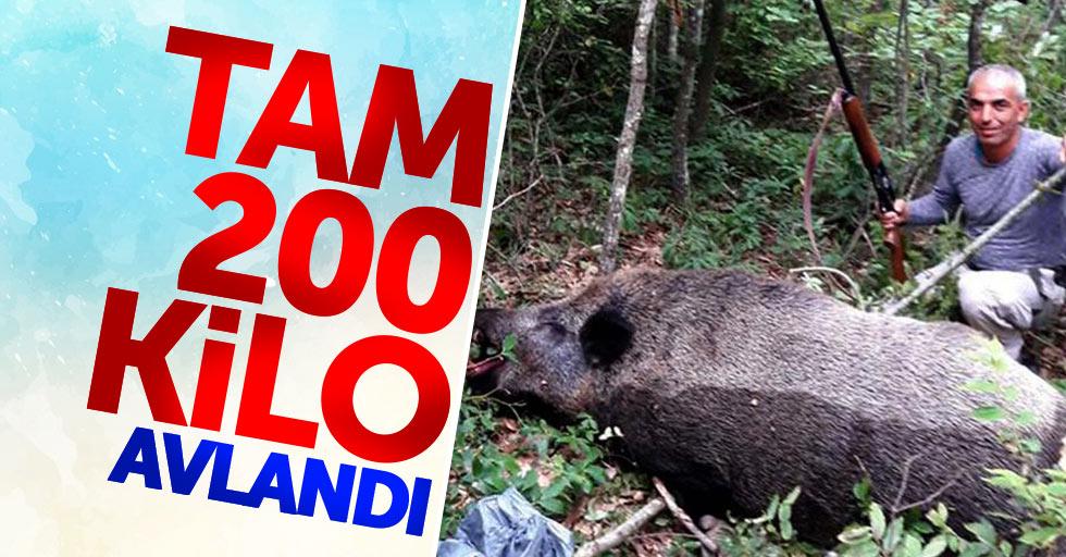 Samsun'da 200 kiloluk yaban domuzu avlandı