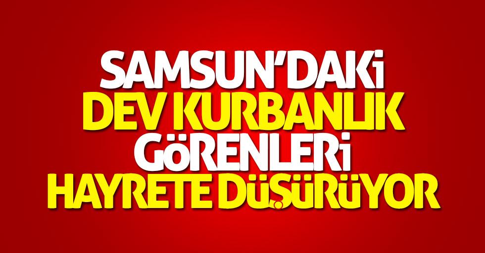 Samsun'daki dev kurbanlık alıcı bekliyor