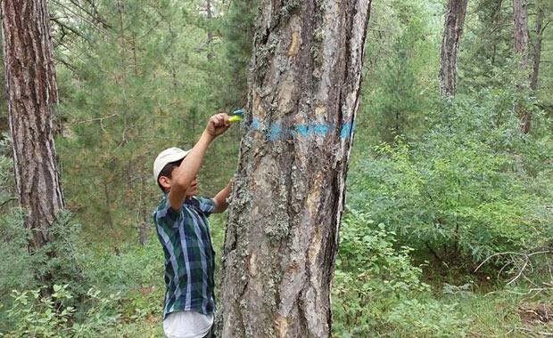 Samsun'da orman gençleştiriliyor