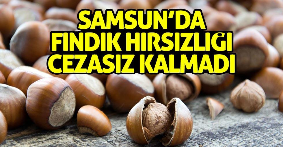 Samsun'da 2 ton 440 kilo fındığı çalan hırsızlar...