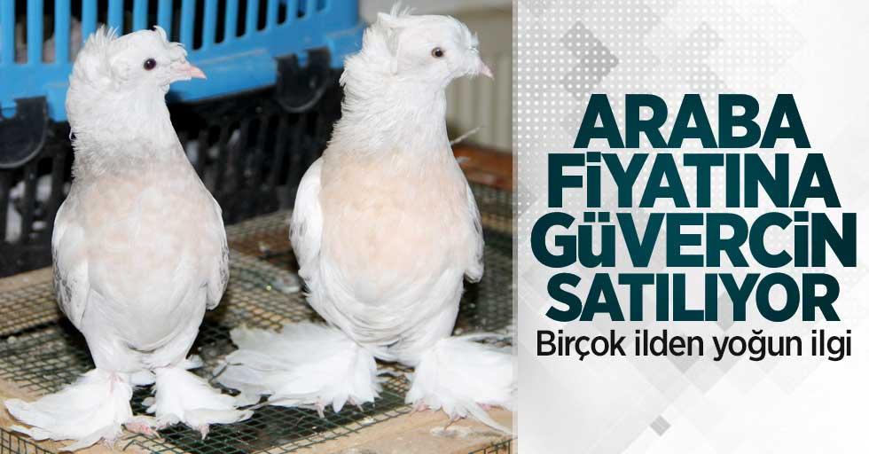 Araba fiyatına güvercin satılıyor! Samsun'dan yoğun ilgi