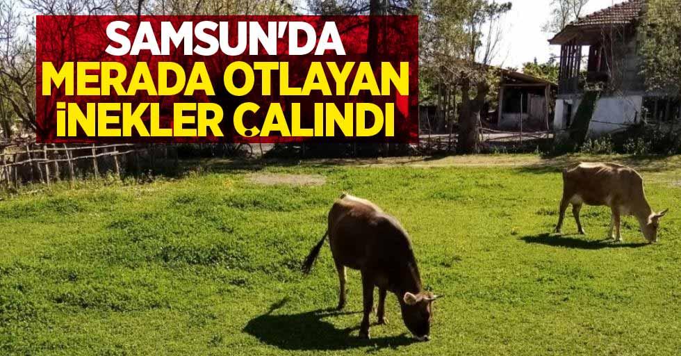 Samsun'da merada otlayan inekler çalındı