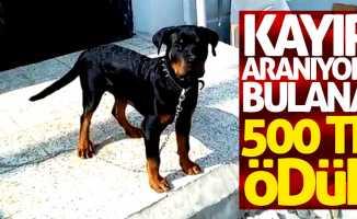 Samsun'da çalınan köpeği bulana ödül!