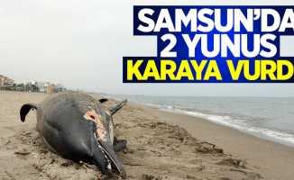 Samsun'da 2 yunus karaya vurdu