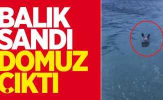 Sinop'ta yüzen domuz şaşkına çevirdi