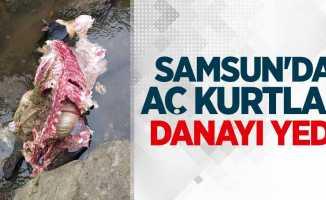 Samsun'da aç kurtlar danayı yedi
