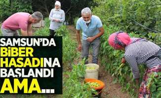 Samsun'da biber hasadına başlandı ama...