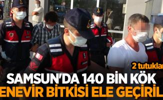 Samsun'da 140 bin kök kenevir bitkisi ele geçirildi