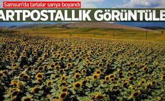 Samsun'da tarlalar sarıya boyandı! Kartpostallık görüntüler
