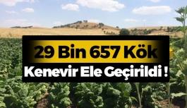 29 Bin 657  Kenevir Ele Geçirildi !