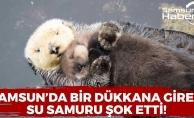 Samsun'da Bir Dükkana Giren Su Samuru Şok Etti!
