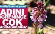 Samsun'da bu bitkinin doğadan toplanması yasak